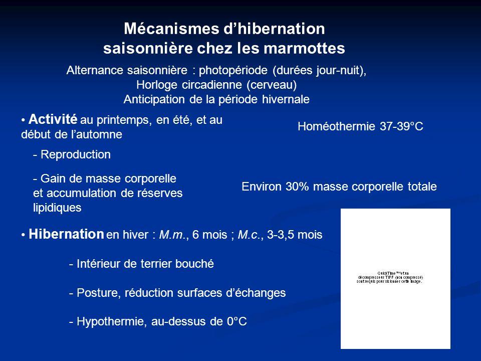 Mécanismes d'hibernation saisonnière chez les marmottes