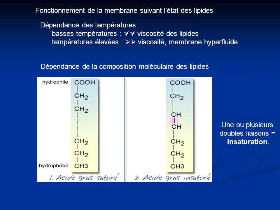 Fonctionnement de la membrane suivant l'état des lipides