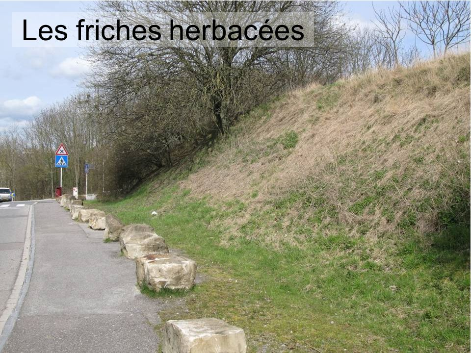 Les friches herbacées