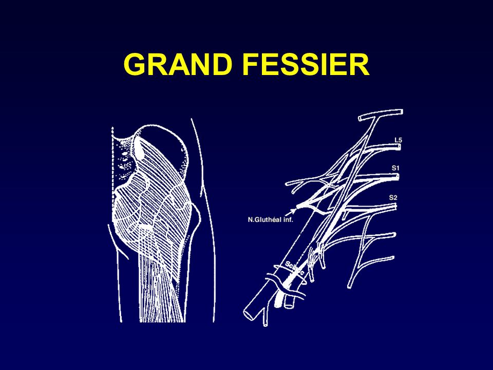GRAND FESSIER O: illium (ligne glutéale post), sacrum, coccyx