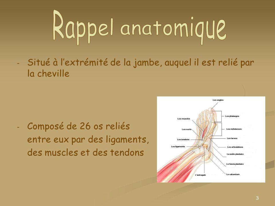 Rappel anatomique Situé à l'extrémité de la jambe, auquel il est relié par la cheville. Composé de 26 os reliés.