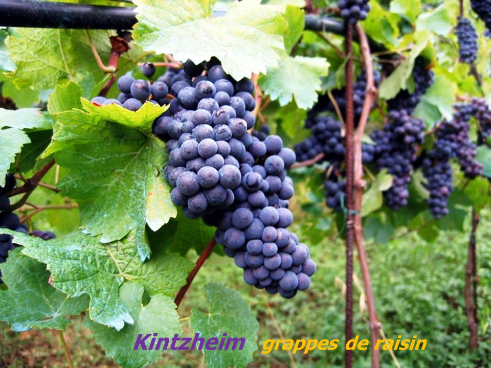 Kintzheim grappes de raisin