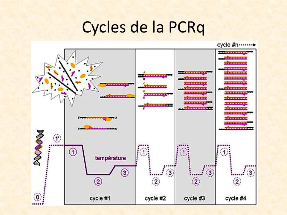 Cycles de la PCRq