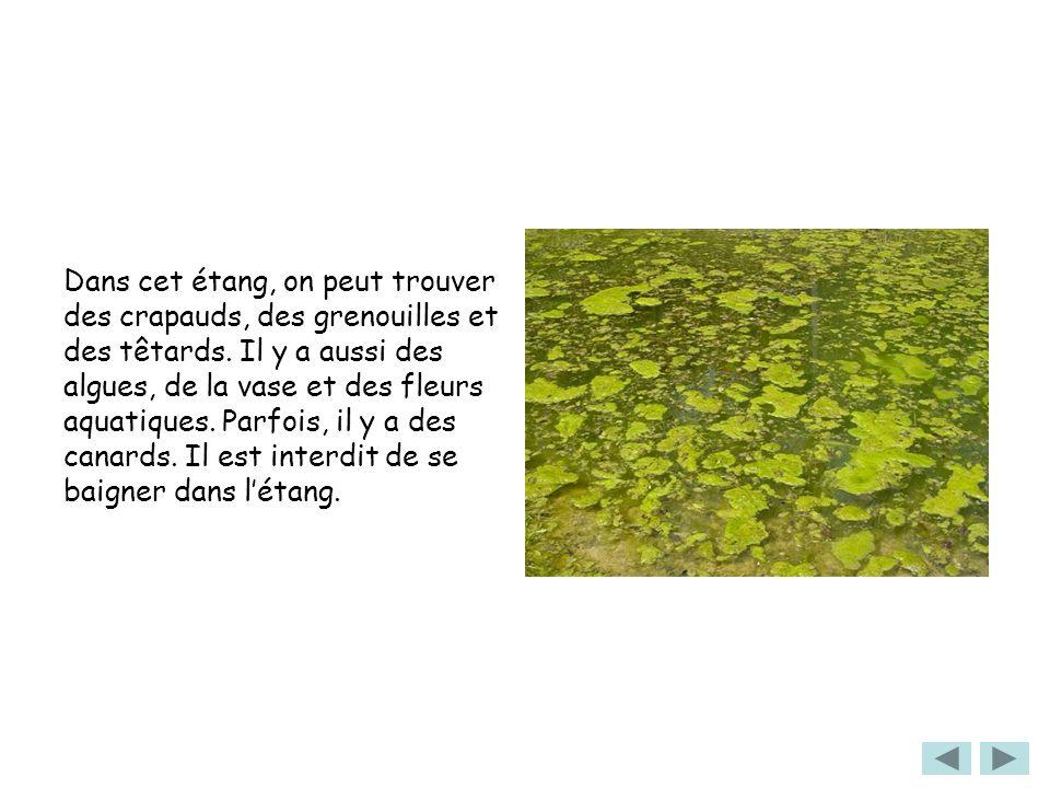 Dans cet étang, on peut trouver des crapauds, des grenouilles et des têtards.