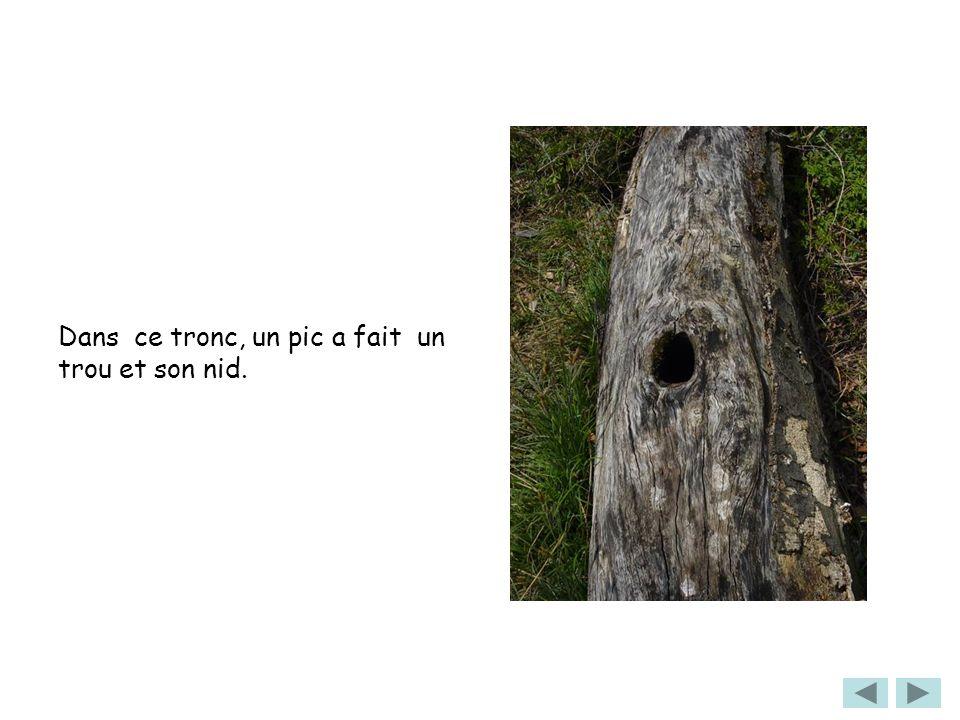 Dans ce tronc, un pic a fait un trou et son nid.