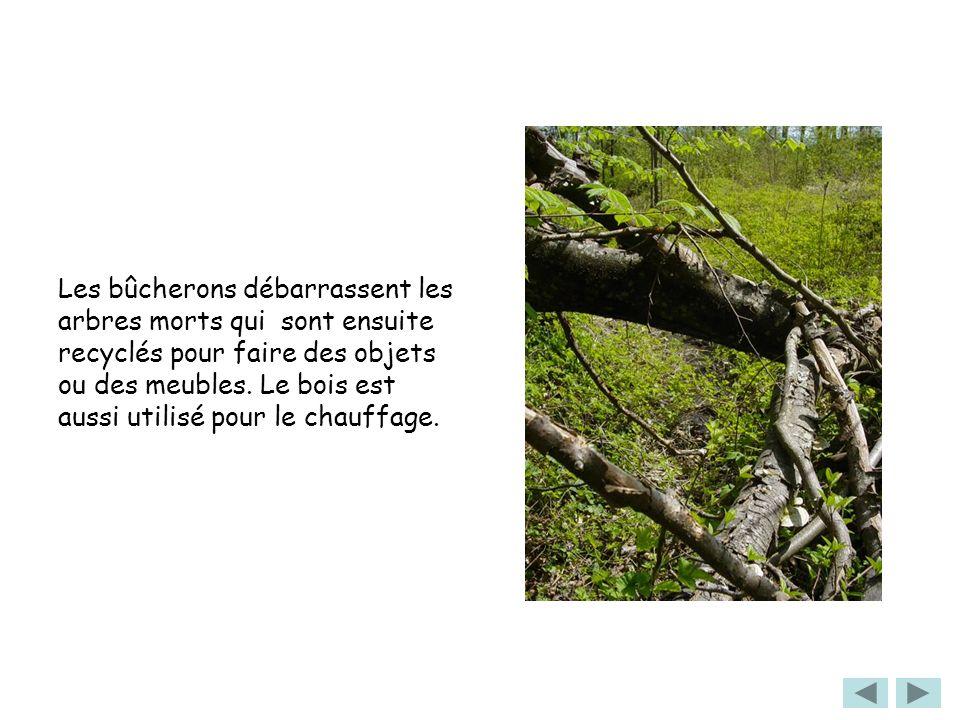 Les bûcherons débarrassent les arbres morts qui sont ensuite recyclés pour faire des objets ou des meubles.