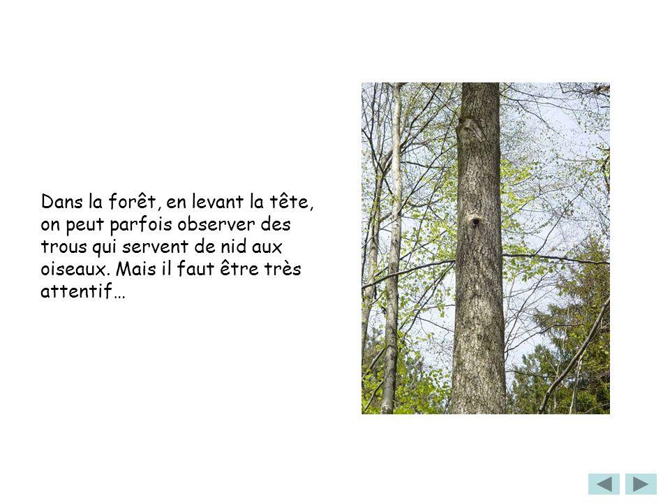 Dans la forêt, en levant la tête, on peut parfois observer des trous qui servent de nid aux oiseaux.