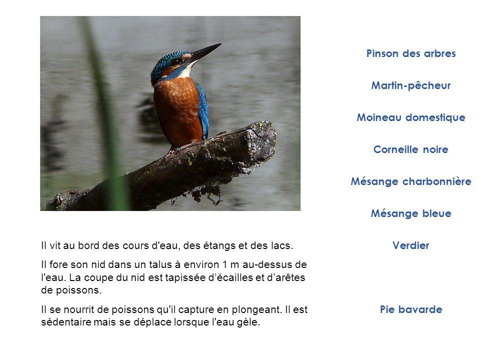 Pinson des arbres Martin-pêcheur. Moineau domestique. Corneille noire. Mésange charbonnière. Mésange bleue.