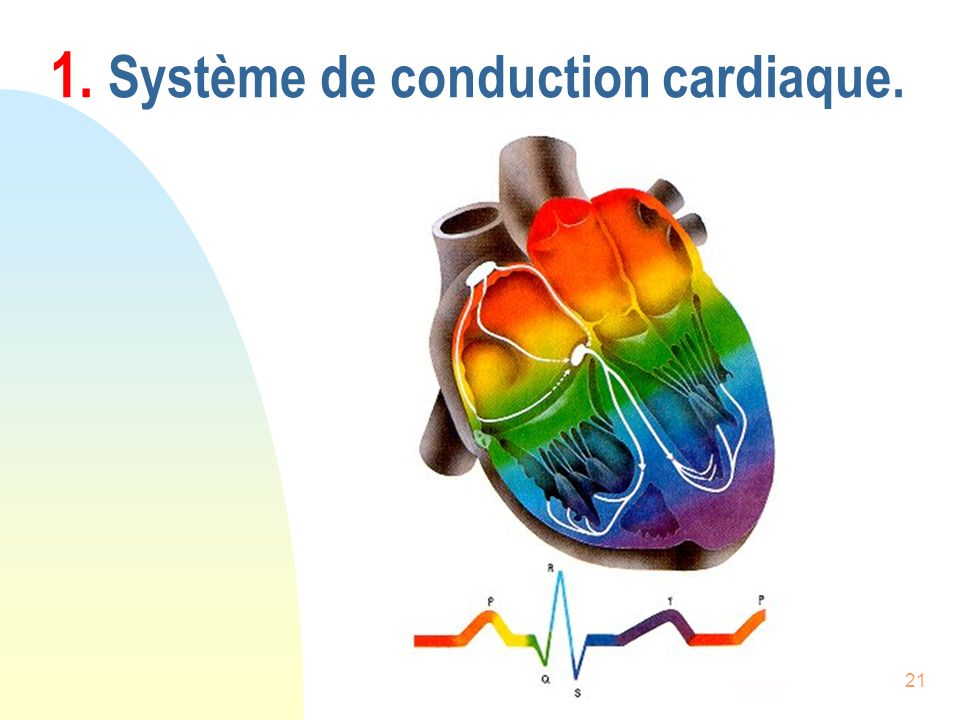 1. Système de conduction cardiaque.