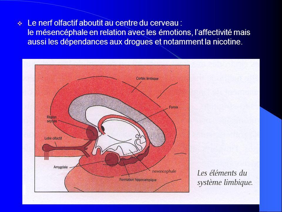 Le nerf olfactif aboutit au centre du cerveau : le mésencéphale en relation avec les émotions, l'affectivité mais aussi les dépendances aux drogues et notamment la nicotine.