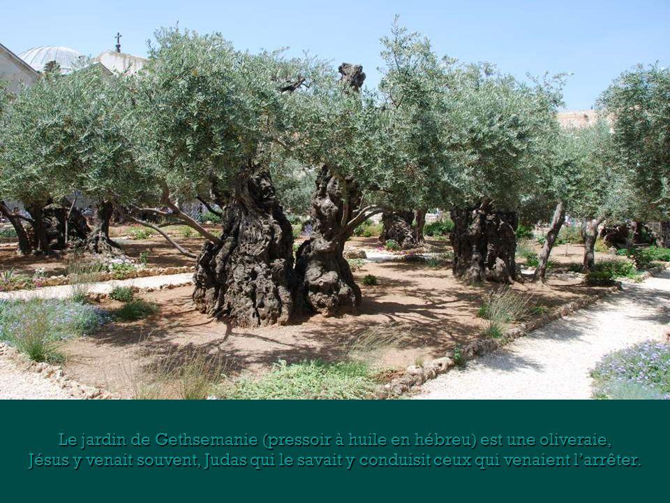 Le jardin de Gethsemanie (pressoir à huile en hébreu) est une oliveraie,