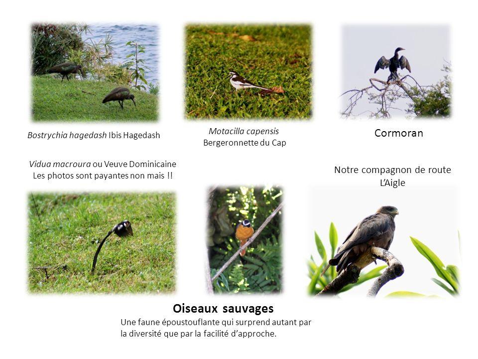 Oiseaux sauvages Cormoran Notre compagnon de route L'Aigle