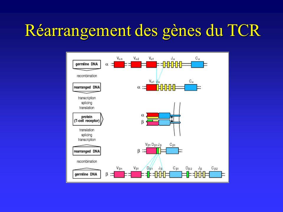 Réarrangement des gènes du TCR