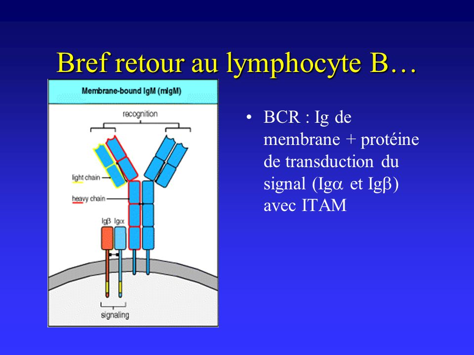 Bref retour au lymphocyte B…