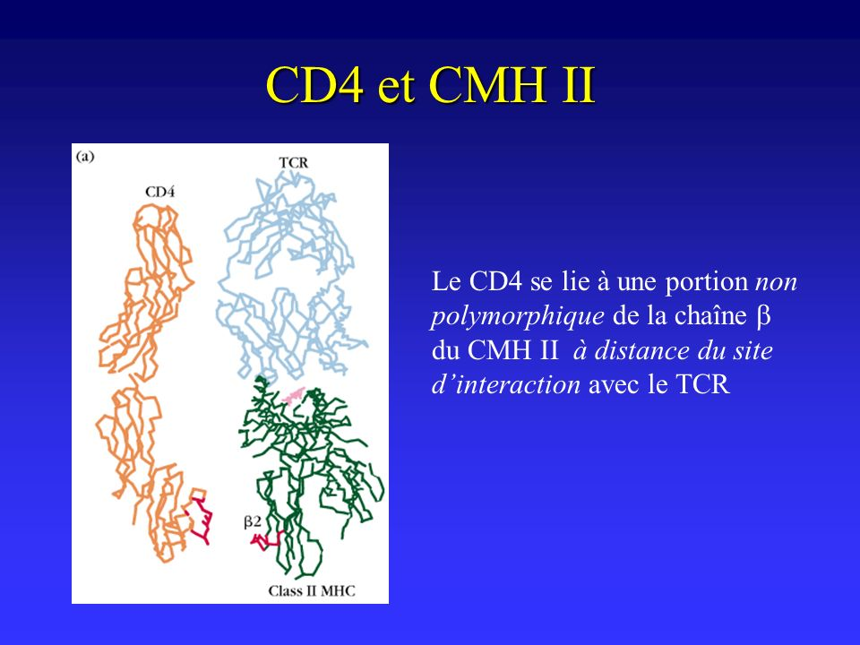 CD4 et CMH II Le CD4 se lie à une portion non polymorphique de la chaîne b du CMH II à distance du site d'interaction avec le TCR.