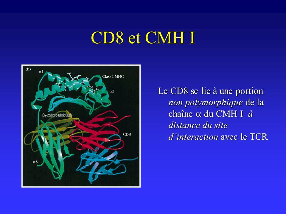 CD8 et CMH I Le CD8 se lie à une portion non polymorphique de la chaîne a du CMH I à distance du site d'interaction avec le TCR.