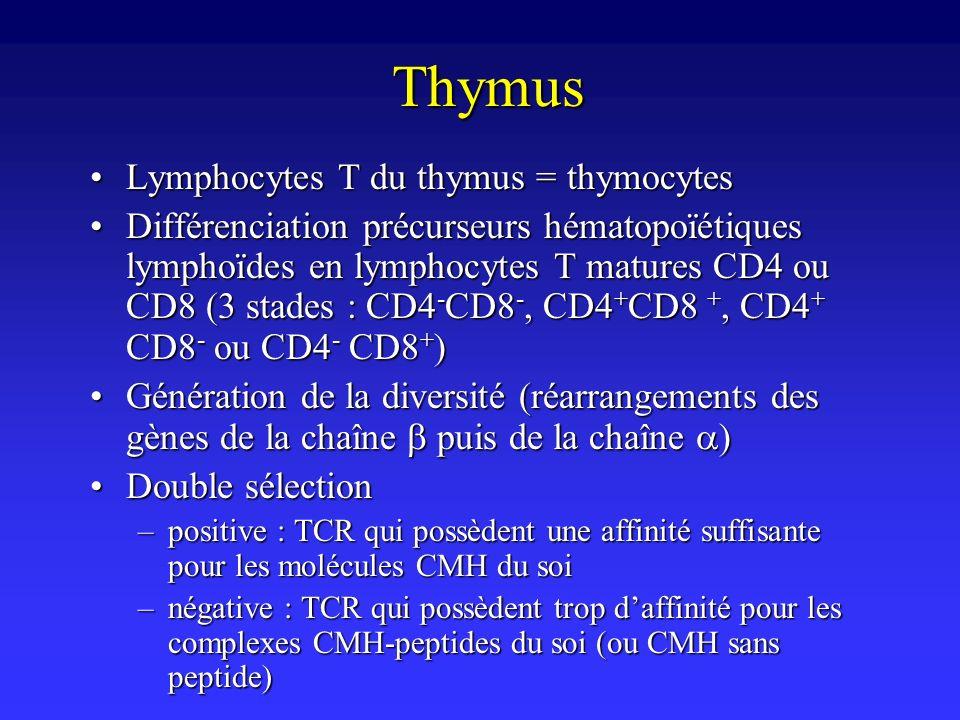 Thymus Lymphocytes T du thymus = thymocytes