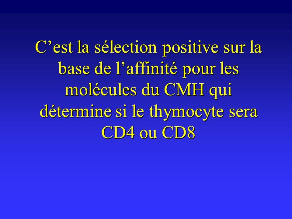 C'est la sélection positive sur la base de l'affinité pour les molécules du CMH qui détermine si le thymocyte sera CD4 ou CD8