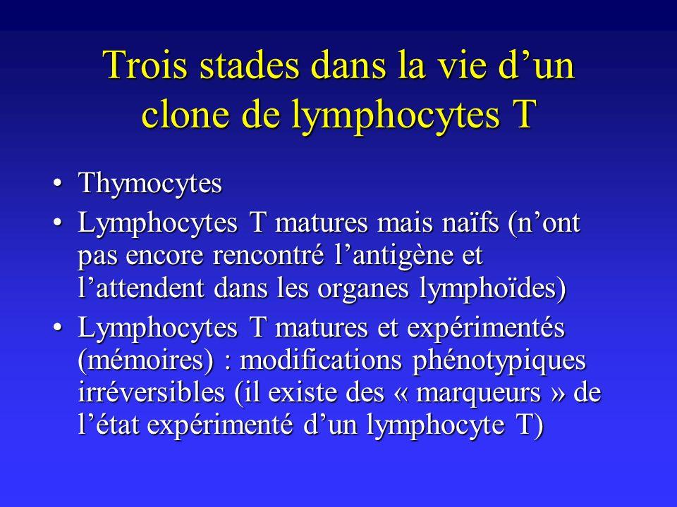 Trois stades dans la vie d'un clone de lymphocytes T