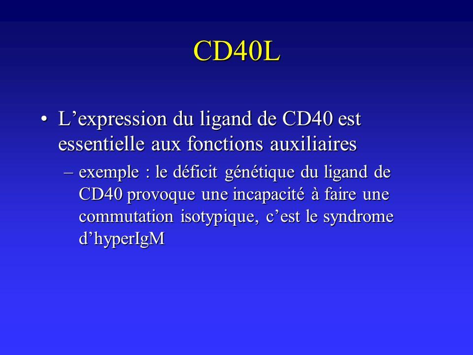 CD40L L'expression du ligand de CD40 est essentielle aux fonctions auxiliaires.