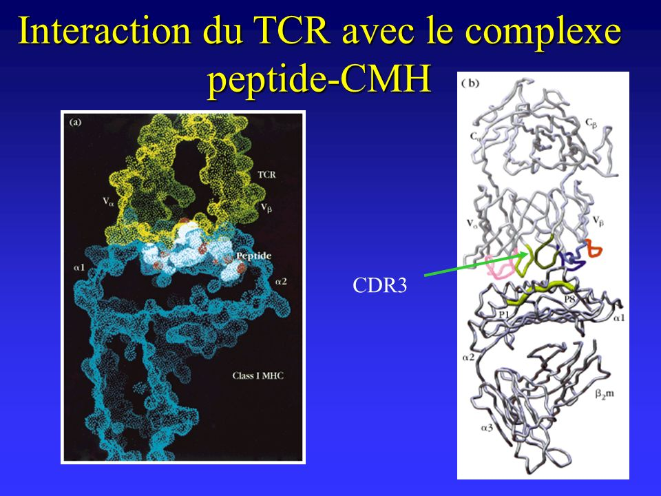 Interaction du TCR avec le complexe peptide-CMH
