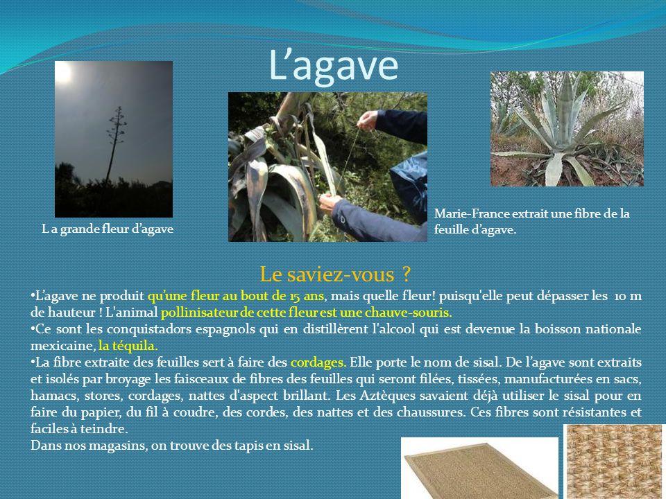 L a grande fleur d'agave