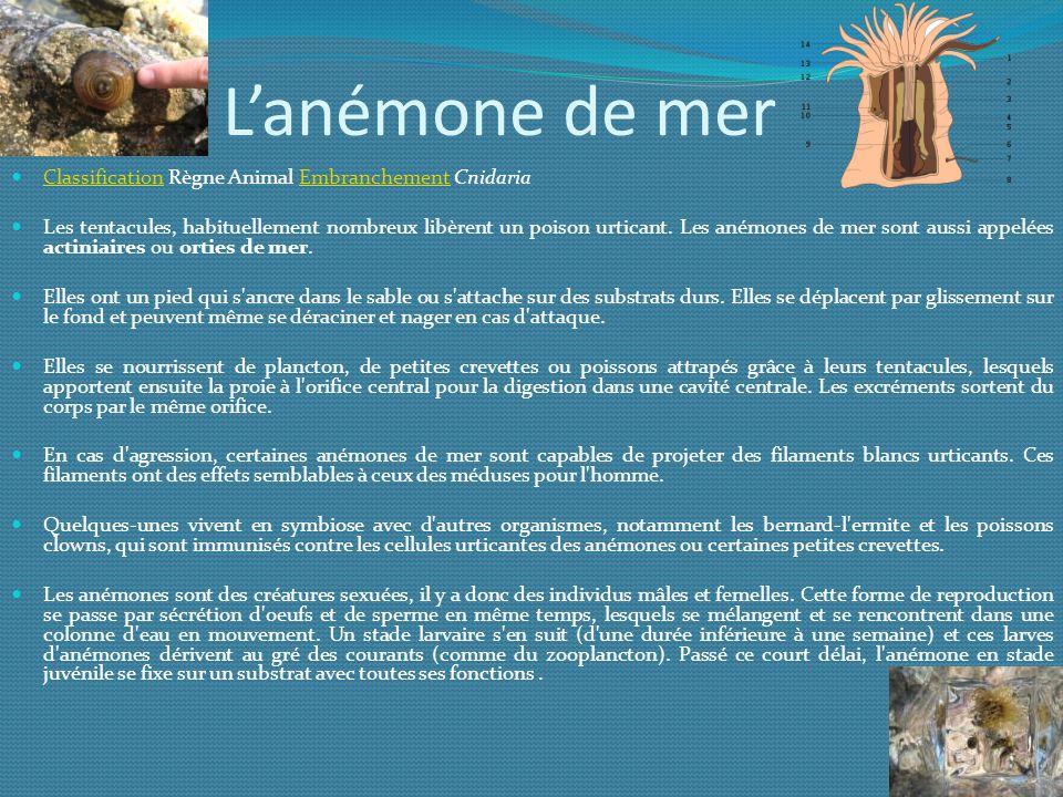 L'anémone de mer Classification Règne Animal Embranchement Cnidaria