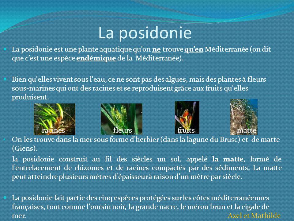 La posidonie La posidonie est une plante aquatique qu'on ne trouve qu'en Méditerranée (on dit que c'est une espèce endémique de la Méditerranée).