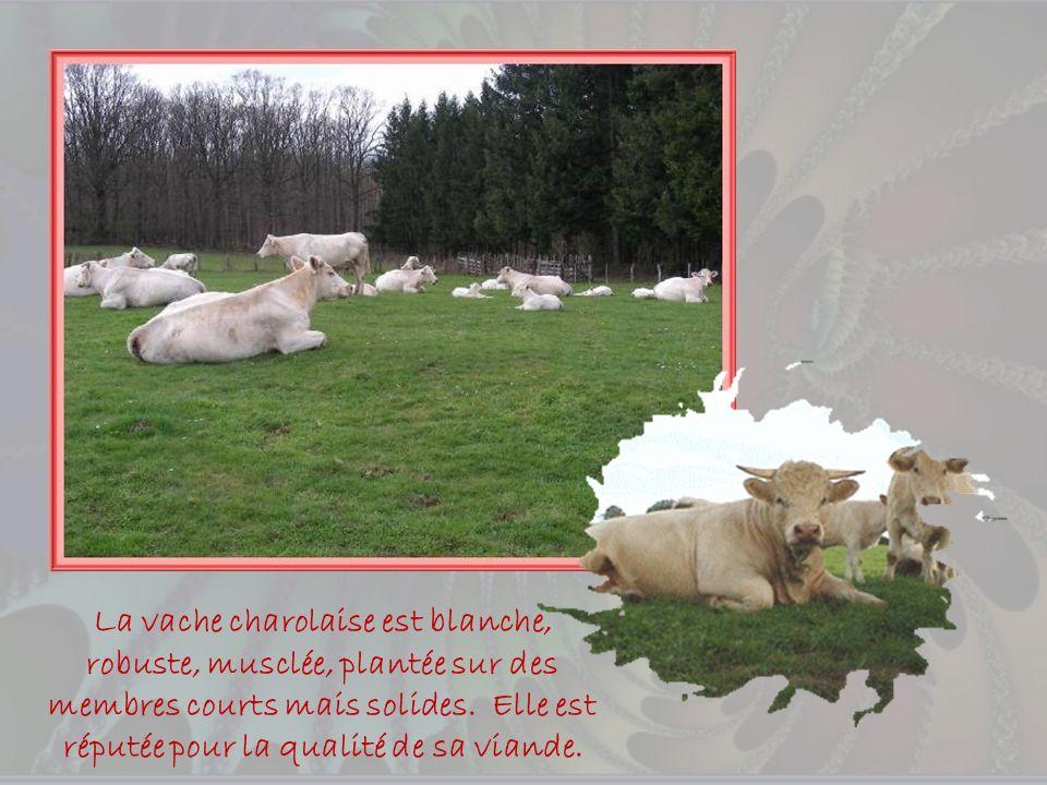 La vache charolaise est blanche, robuste, musclée, plantée sur des membres courts mais solides.
