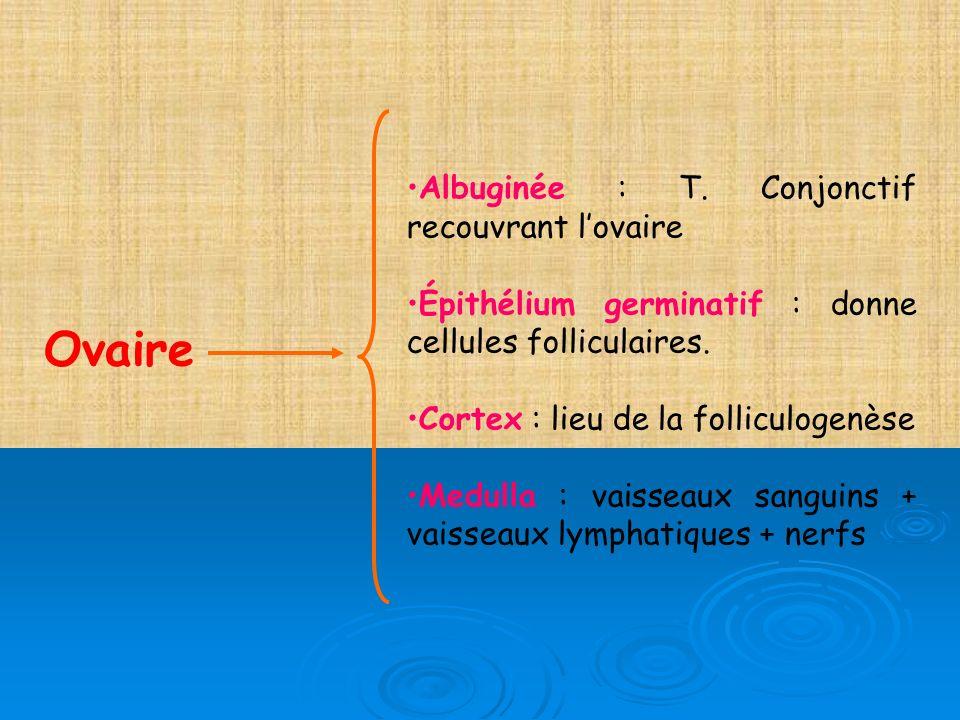 Ovaire Albuginée : T. Conjonctif recouvrant l'ovaire