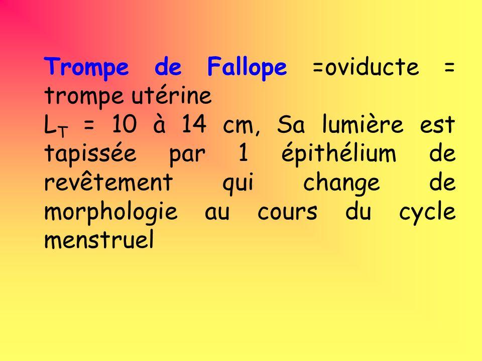 Trompe de Fallope =oviducte = trompe utérine