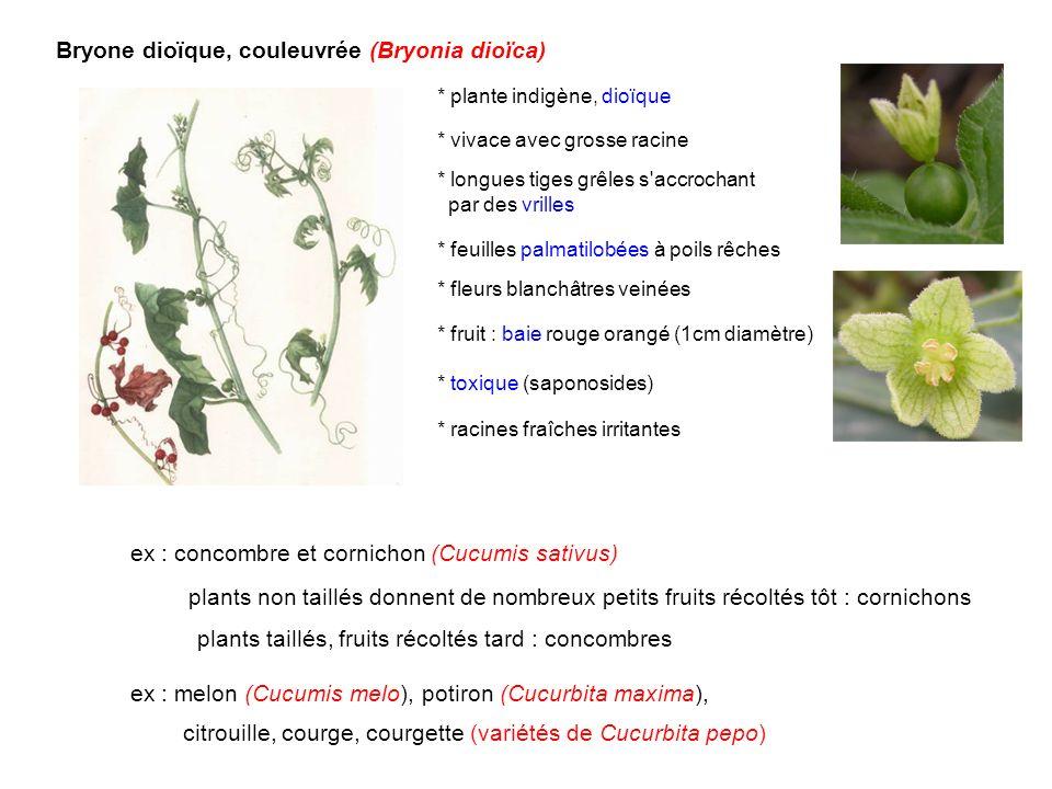 Bryone dioïque, couleuvrée (Bryonia dioïca)