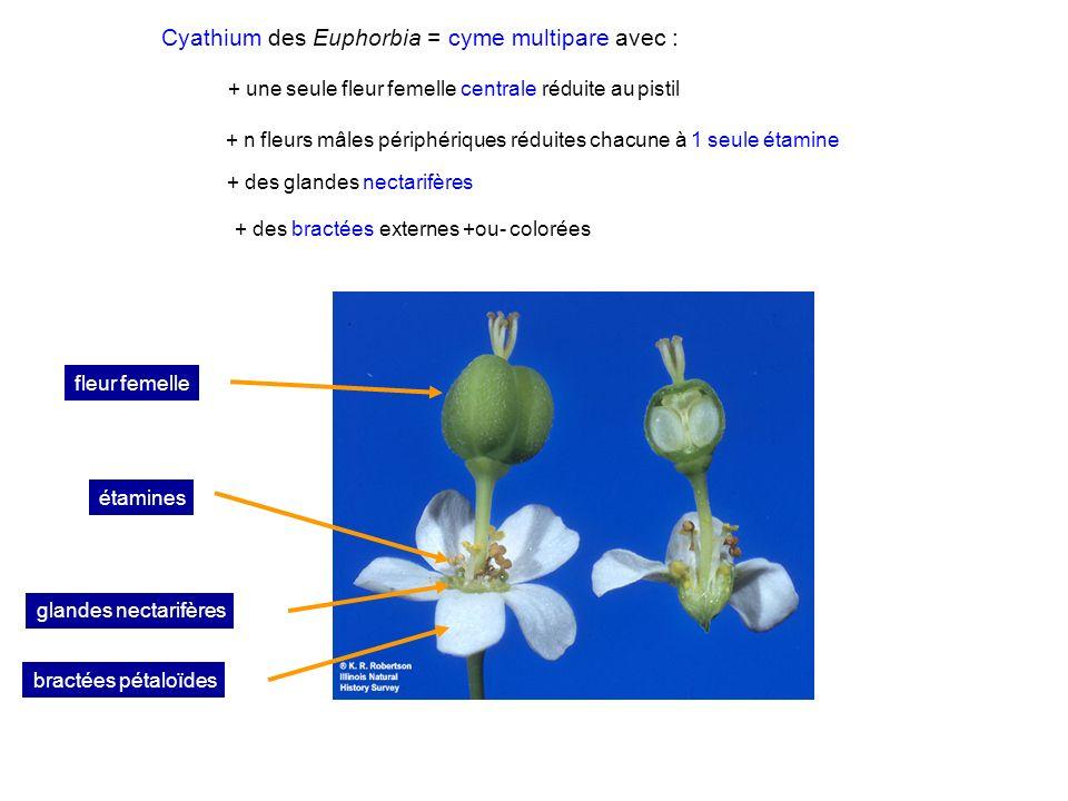 Cyathium des Euphorbia = cyme multipare avec :
