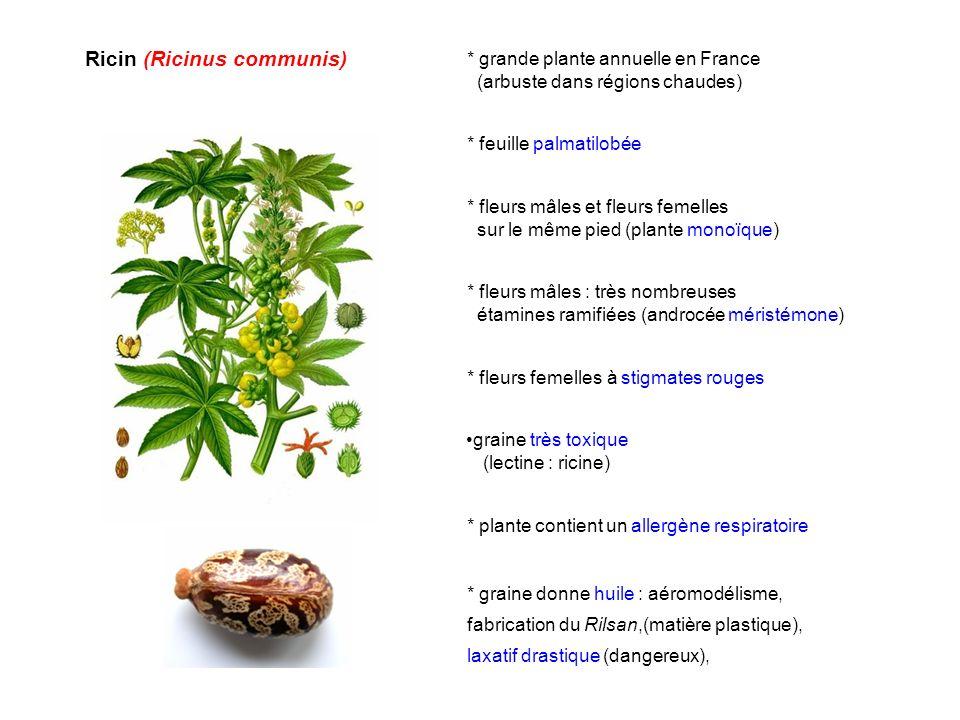 Ricin (Ricinus communis)