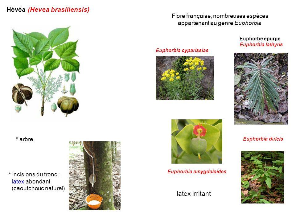 Hévéa (Hevea brasiliensis)