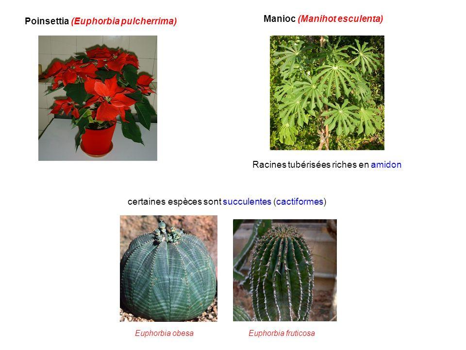 Poinsettia (Euphorbia pulcherrima) Manioc (Manihot esculenta)