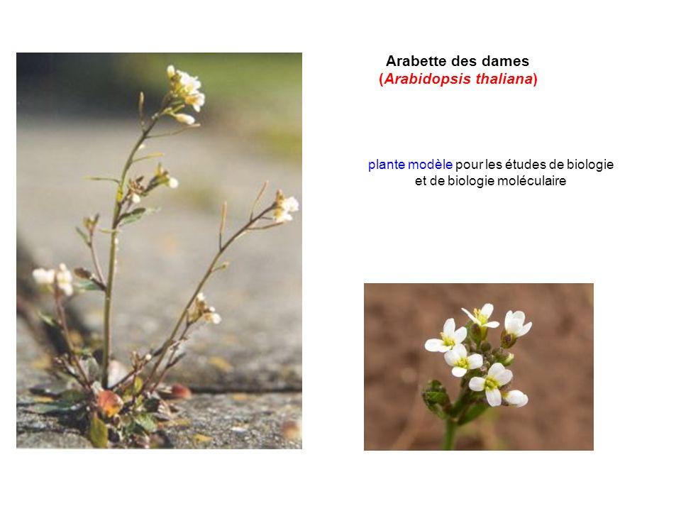 (Arabidopsis thaliana)