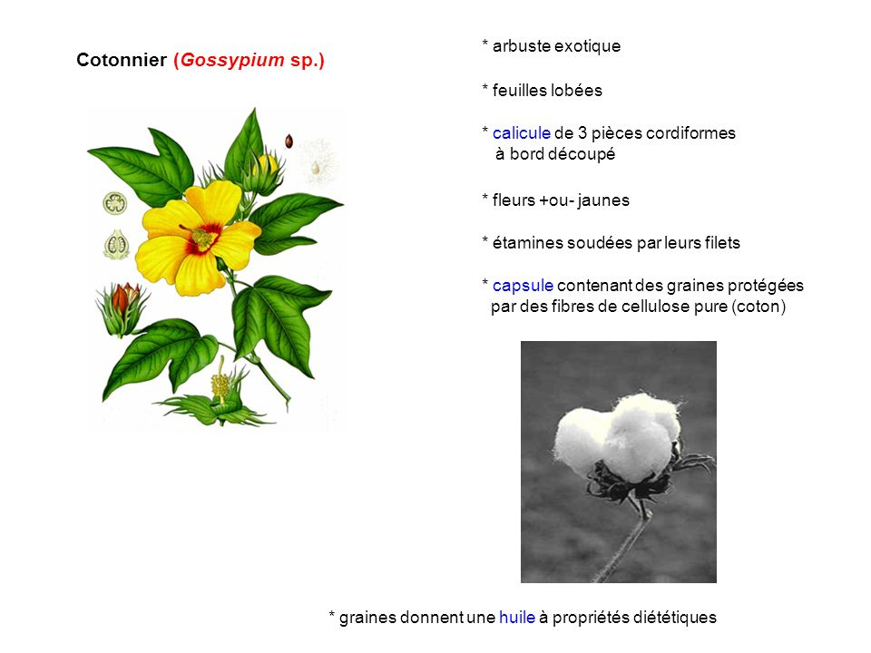 Cotonnier (Gossypium sp.)