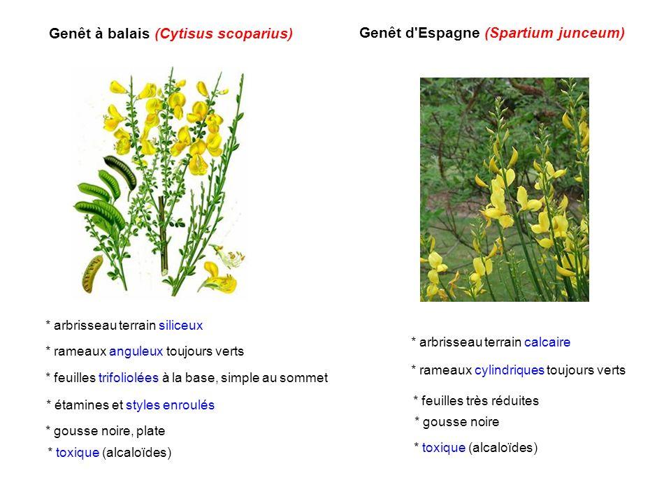 Genêt à balais (Cytisus scoparius) Genêt d Espagne (Spartium junceum)