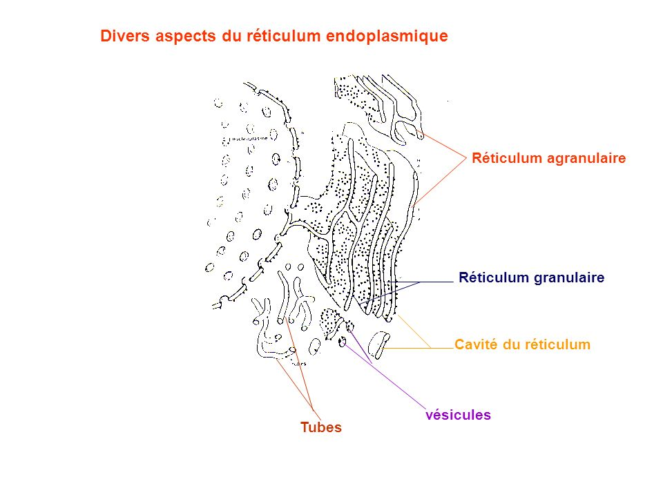 Divers aspects du réticulum endoplasmique