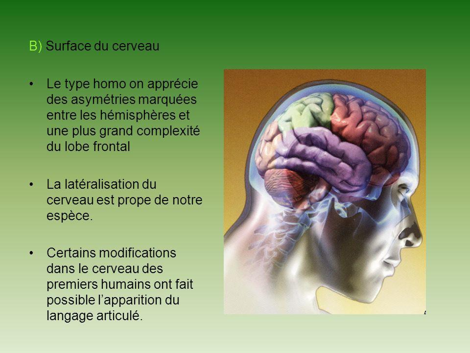 B) Surface du cerveau Le type homo on apprécie des asymétries marquées entre les hémisphères et une plus grand complexité du lobe frontal.