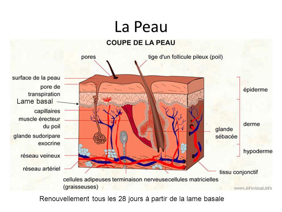 La Peau Lame basal Renouvellement tous les 28 jours à partir de la lame basale