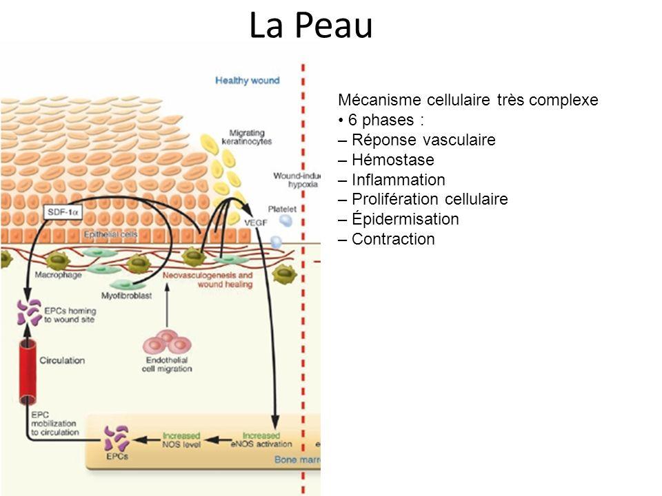 La Peau Mécanisme cellulaire très complexe • 6 phases :