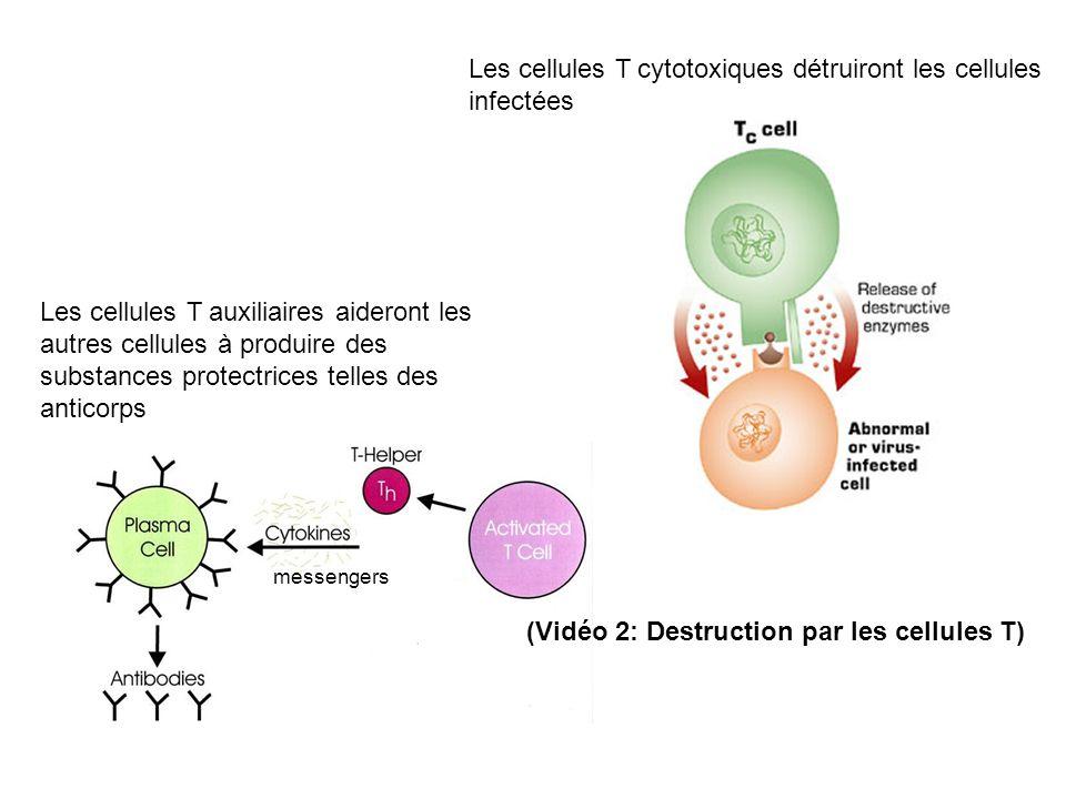 Les cellules T cytotoxiques détruiront les cellules infectées