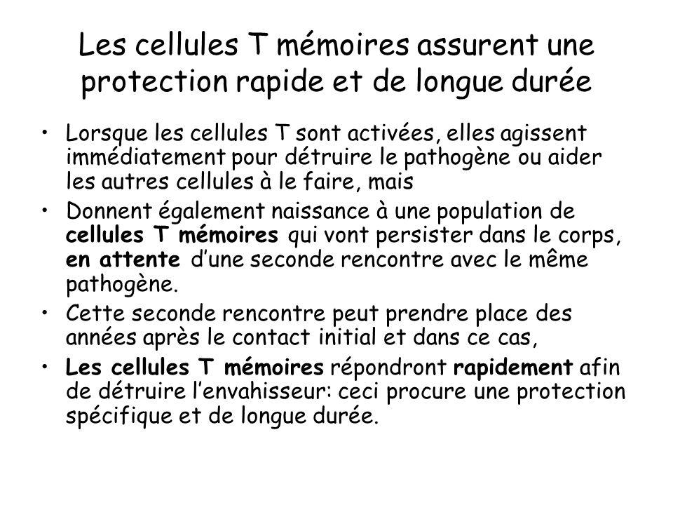 Les cellules T mémoires assurent une protection rapide et de longue durée