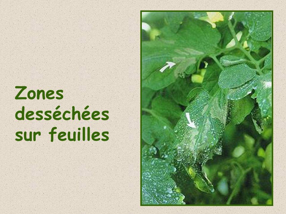 Zones desséchées sur feuilles