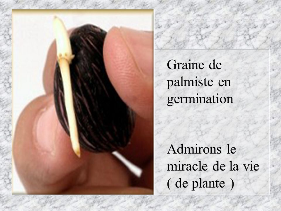 Graine de palmiste en germination