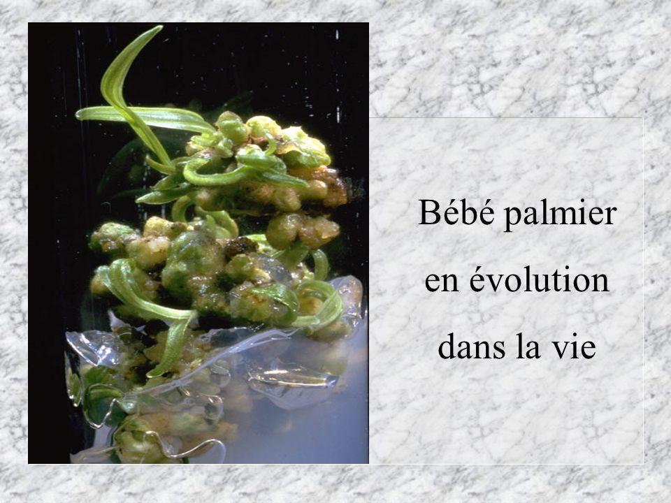 Bébé palmier en évolution dans la vie