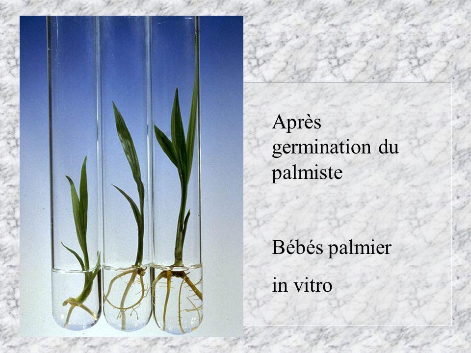 Après germination du palmiste