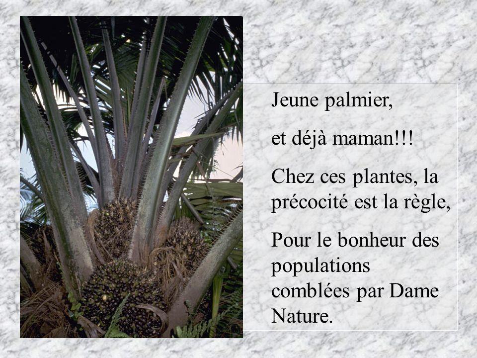 Jeune palmier,et déjà maman!!.